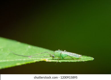 Macro Chironomidae on leaves