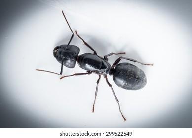 macro close up ant black