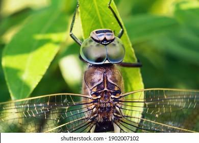 Macro close up of big dragonfly Aeshna viridis head with eyes sitting on green leaf
