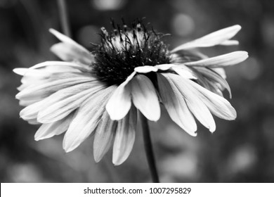 Macro close up of blanket flowers in black and white