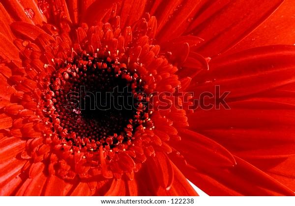 Macro, close up of a blood red Gerbera Dasiy