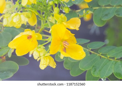 Macro close up Cassia fistula or Golden Shower Tree on the branch freshness with rain drips and nature blurry background.