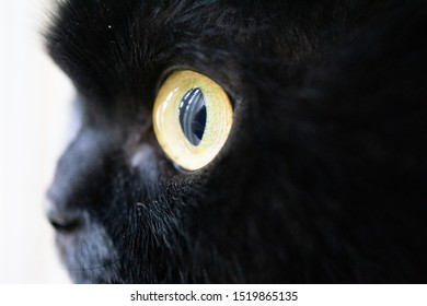 macro close up of a cat's eye, a black cat with bright golden eyes who was born in Dubai and now lives in Buffalo, New York, USA