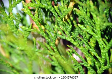macro close up closeup view (Diphasiastrum tristachyum) at summer sunny weather with green background blue clubmoss, blue ground-cedar, ground pine, deep-rooted running-pine or ground cedar
