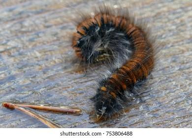 Macro close up of fox moth caterpillar, Macrothylacia rubi. Brown and black.