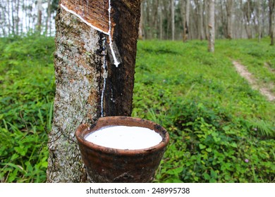 Rubber Tree Images Stock Photos Vectors Shutterstock