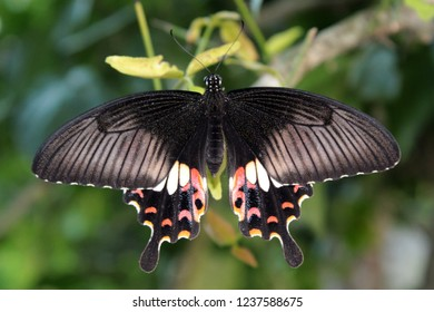 Macro or close up of Papilio polytes (female) butterfly with inedible red bodied swallowtails sits on leaf.Also known as Common Mormon, Kleiner Mormon, Mormon Commun, Odisha, India