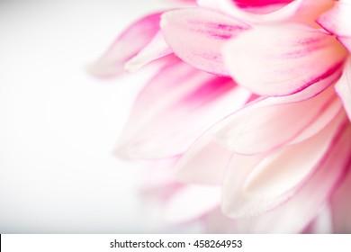 Macro Close up of Pink Dahlia Flower