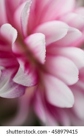 Macro Close up of Pink and White Flower Petals