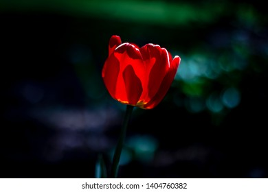 A macro close up of a red tulip on a sunny spring morning in Ontario, Canda.