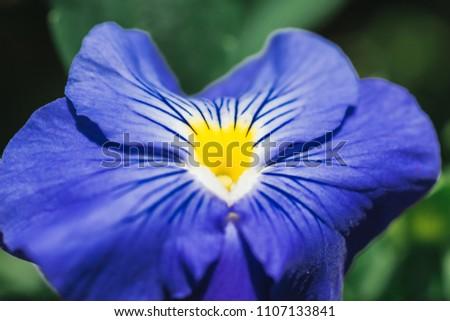 Macro Close Shot Blue Flower Yellow Stock Photo Edit Now