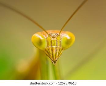 Macro Close Up Shot of Praying Mantis or Mantis Religiosa. Bali, Indonesia.