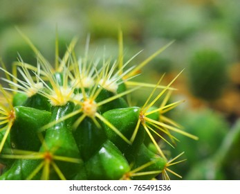 Macro close up top part of young fresh shiny green spike, long star yellow thorn Ferocactus glaucescens, with other blurred cactus plant field background
