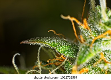 Macro close up of trichomes on female cannabis indica plant leaf