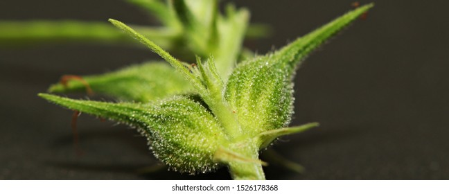 Macro close up of trichomes on wild female hemp (Cannabis sativa) plant, detail of trichomes on bud with blur background. Bud or fruit or enclosed in hairy bract.