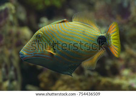 macro close undulated trigger fish marine stock photo edit now
