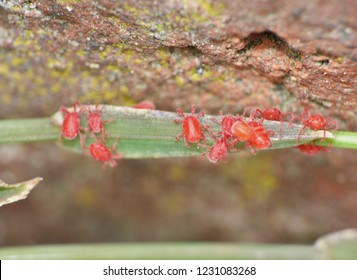 Macro close up of velvet mite (blood suckers) on leaf, photo taken in the UK.