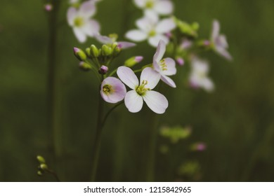 Macro close up of white blooming cuckoo flower (Cardamine pratensis) also known as lady´s smock, mayflower and milkmaids, copy space for text
