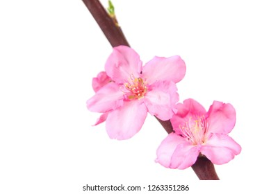 macro closeup of almond beautiful pink flowers of the Prunus dulcis Amygdalus tree isolated on white