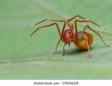 macro closeup of ant mimicry spider on the leaf/soft/grain