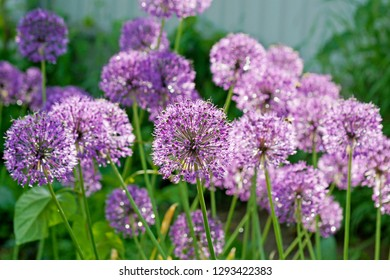 macro closeup a beautiful background of purple allium onion flowers on a sunny day against bright bokeh background