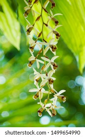 a macro closeup of a beautiful botanical orchid species Coelogyne massangeana growing vertical branches yellow flower with brown lip