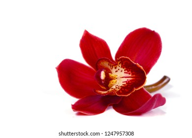 a macro closeup of a beautiful dark red Cymbidium orchid flower isolated on white with space for text