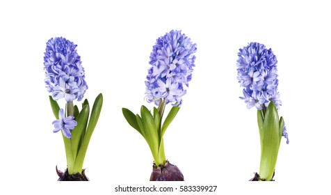 a macro closeup of beautiful early first spring flowers Hyacinth plants, growing from bulbs with leaves isolated on white.