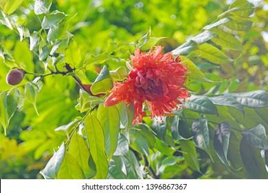 macro closeup of beautiful orange red scarlet flower cluster of Brownea coccinea scarlet flame bean, mountain rose, rose of Venezuela and cooper hoop against bright green leaf background