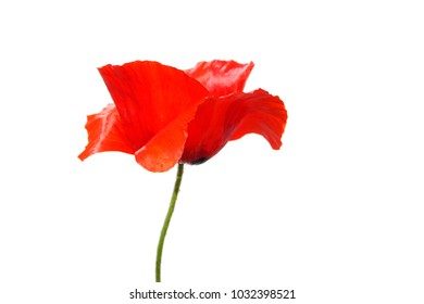 a macro closeup of a beautiful scarlet red poppy Papaver flower isolated on white with space for text