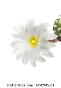 a macro closeup of a beautiful silky white yellow tender Echinopsis subdenudata Lobivia cactus flower and green thorny spiky plant isolated on white