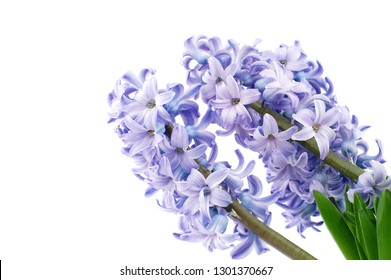 macro closeup of a beautiful soft blue hyacinth flower plant branches isolated on white
