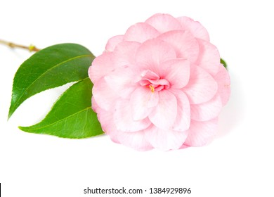 macro closeup of a beautiful soft pink Camellia Camelia flower with leaves isolated on white, one of the first plants to bloom in the garden