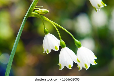 macro closeup of beautiful white and green early spring bulb flowers of Leucojum aestivum plant also known as snowflake and dewdrop lily of the valley against garden background