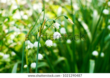 Macro closeup beautiful white green early stock photo edit now macro closeup of beautiful white and green early spring bulb flowers of leucojum plant also known mightylinksfo
