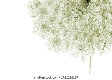 macro closeup of a beautiful yellow green flower cluster bunch umbel parasol umbrella of wild carrot Daucus carota flowering plant bird's nest, bishop's and Queen Anne's lace isolated on white