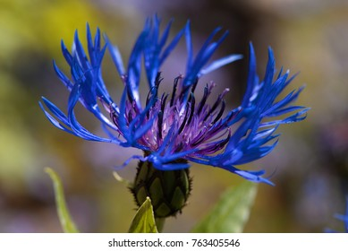 A macro closeup of a blue mountain cornflower. A blossom with interesting outermost ray florets.