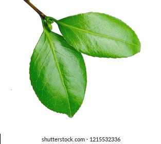 a macro closeup of branch of green leaf of tea tree Camelia Camellia sinensis isolated on white, its leaves and leaf buds are used to brew tea