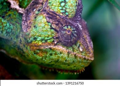 a macro closeup of colorful funny green yellow blue veiled cone-head Yemen Chamaeleo calyptratus chameleon chamaeleon species animal reptile looking in the camera