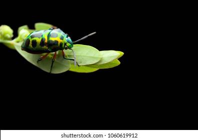Macro closeup of colourful green beetle on leaf.
