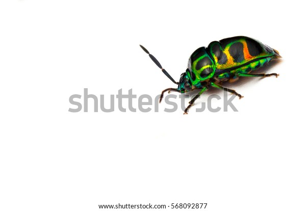 macro closeup of colourful green beetle with soft/grain white background