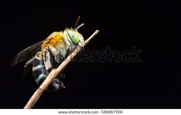 macro closeup of cuckoo bee with black background