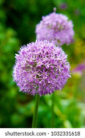 a macro closeup of a curious funny purple pink garden Allium garlic flower cluster from onion family against green garden background