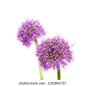 a macro closeup of a curious funny purple pink garden Allium flower from onion and garlic family isolated on white