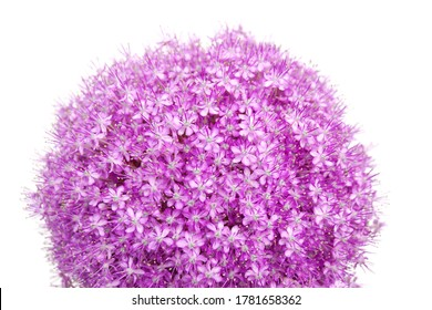 a macro closeup of a curious funny purple pink blue garden giant huge  Allium giganteum