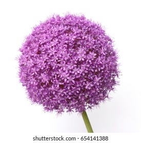 a macro closeup of a curious funny purple pink garden Allium flower cluster from onion and garlic family isolated on white