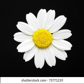 macro close-up of a daisy flower