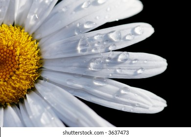 Macro close-up of a daisy flower isolated on black. Shallow DOF, focus on water drops.