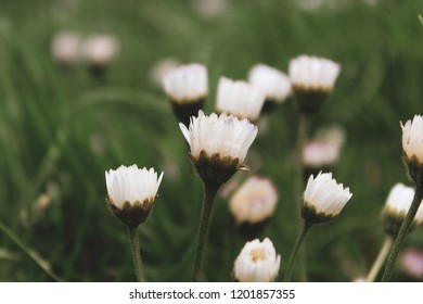 Macro closeup up of daisy flowers (Bellis perennis) on a blurred spring meadow