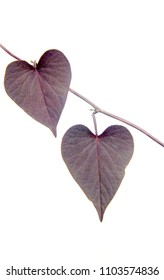 macro closeup of dark purple black heart shaped flowers of Ipomoea Ipomea batatas isolated on white